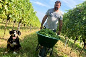 Reinhard Holzer mit Entlebucher Sennenhund Jessie bei der Weinlese